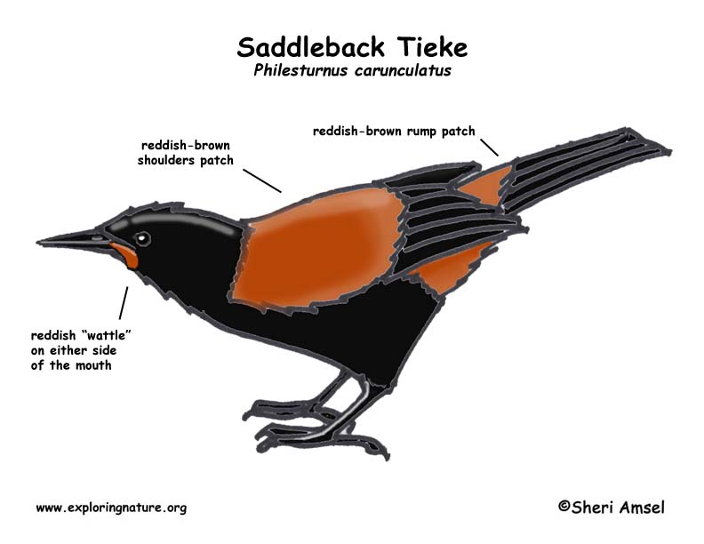 Tieke (Saddleback)