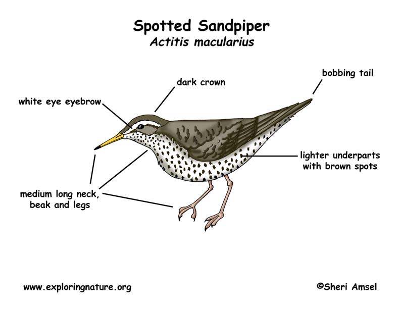Sandpiper (Spotted)