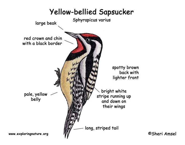 Sapsucker (Yellow-bellied)