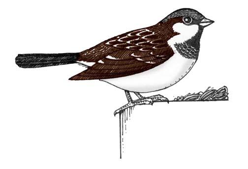 Sparrow (House)