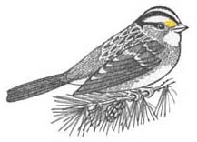 Sparrow (White-throated)