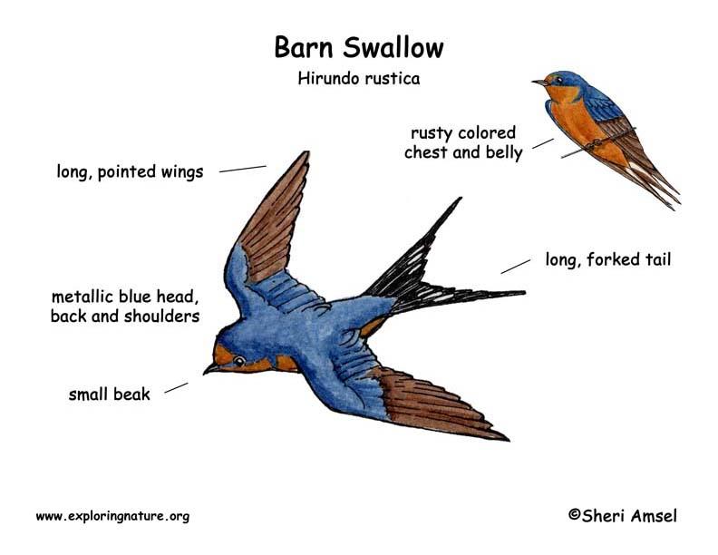 Swallow (Barn)