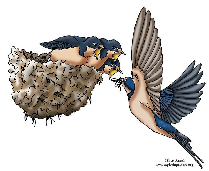 barn swallow nesting