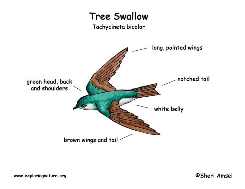 Swallow (Tree)