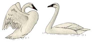 Swan (Trumpeter)