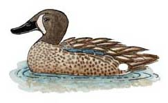 Duck (Blue-winged Teal)
