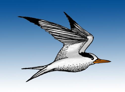 Tern (Arctic)