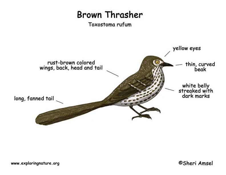 Thrasher (Brown)