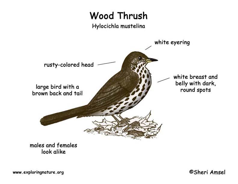 Thrush  Wood