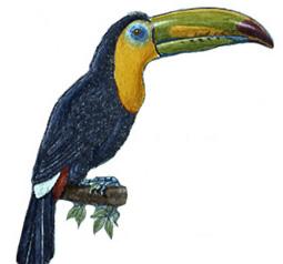 Toucan (Keel-billed)