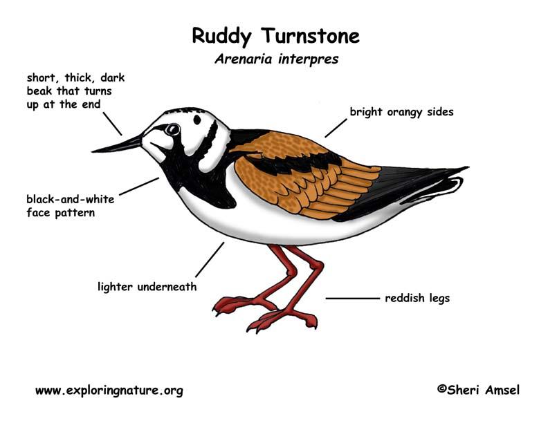 Turnstone (Ruddy)