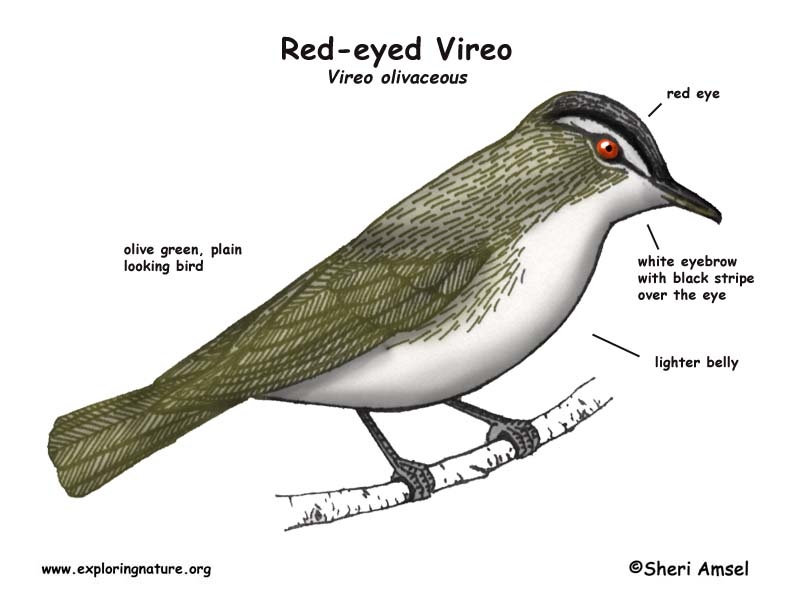 Vireo (Red-eyed)
