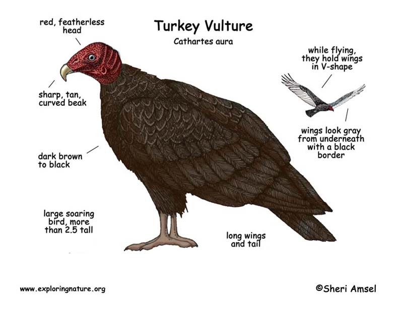 Vulture (Turkey)