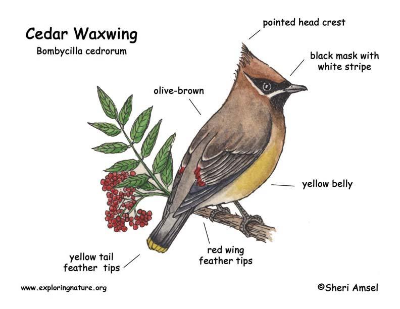 Waxwing (Cedar)
