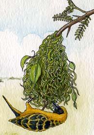 Weaverbird (African Village)