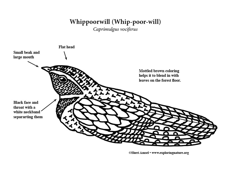 Whippoorwill Coloring Page