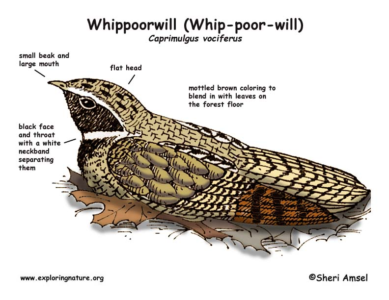 Whippoorwill (Whip-poor-will)