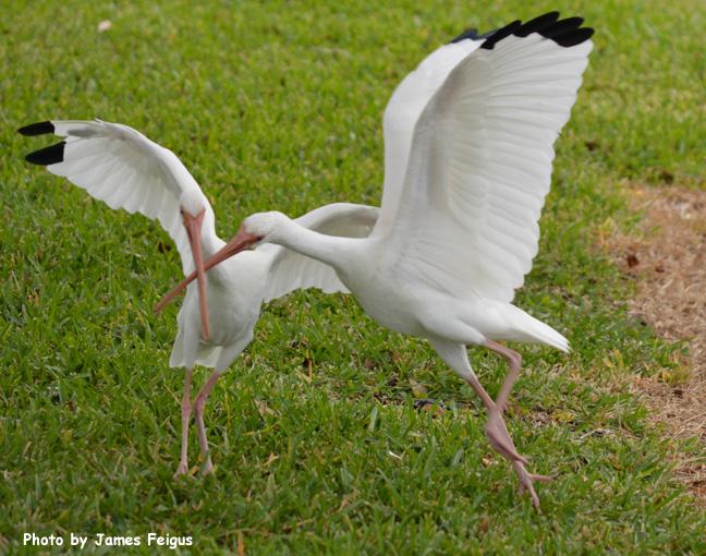 Ibis (White)