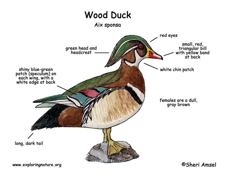 Similiar Duck Diagram Keywords