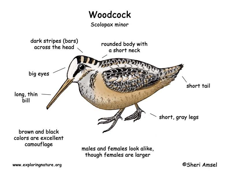 Woodcock Exploring Nature Educational Resource