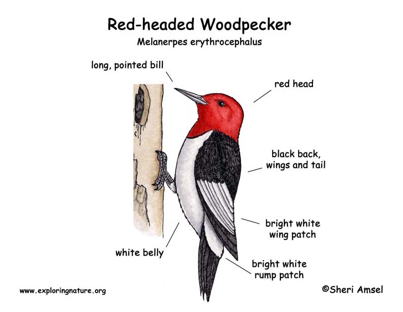 woodpecker  red