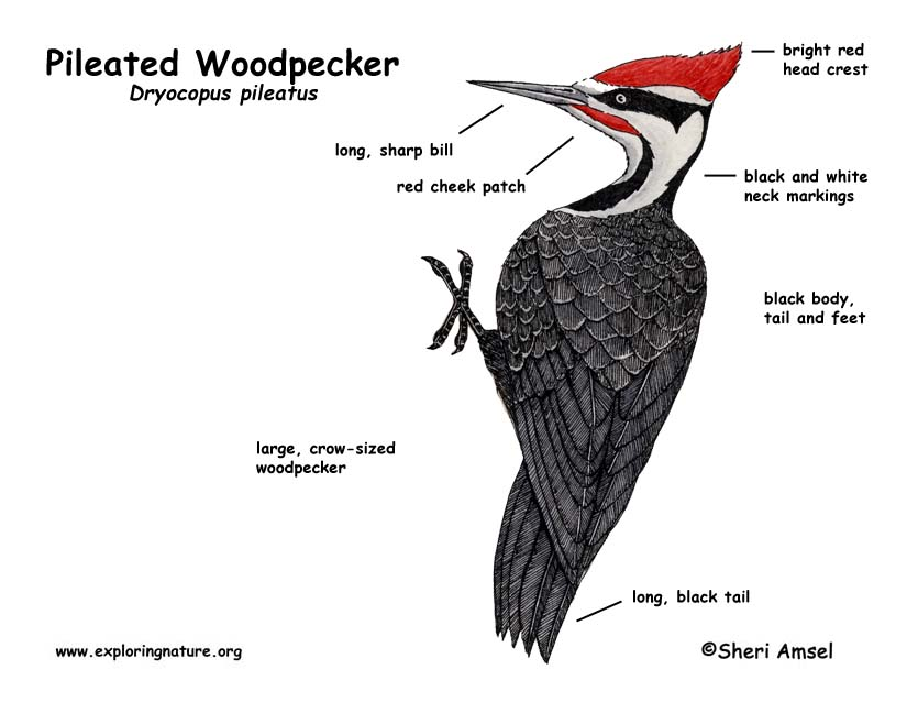 woodpecker  pileated