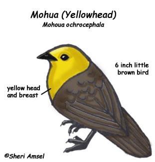 Mohua (Yellowhead)