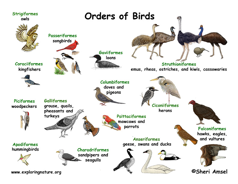 Bird Orders Illustrated and Named