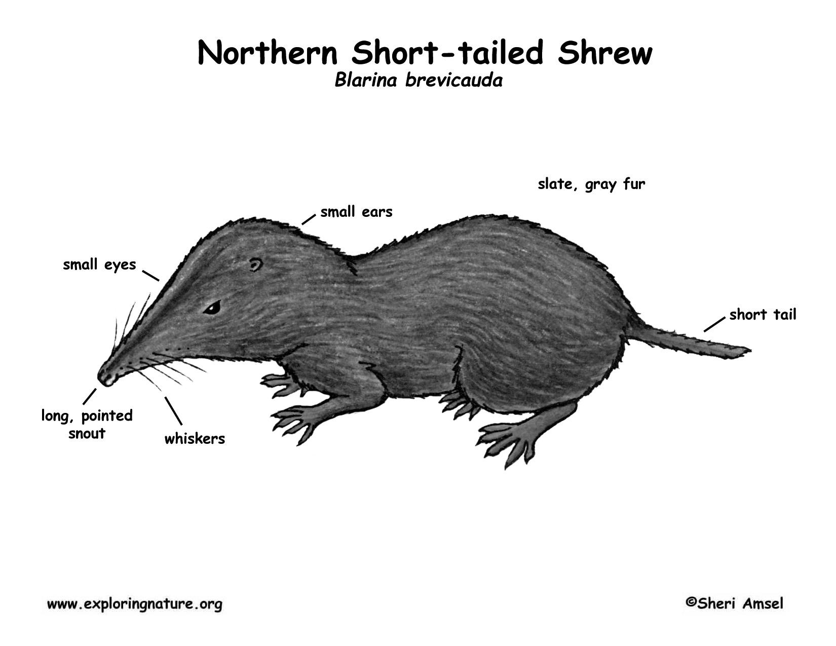 shrew  northern short