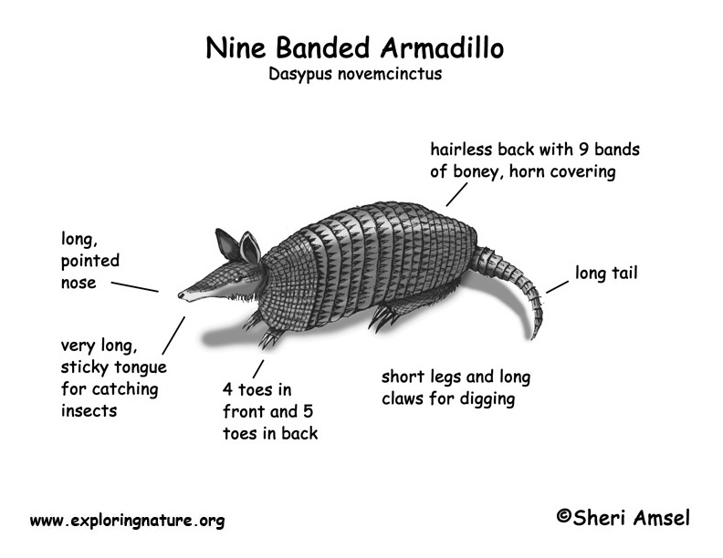 Armadillo  Nine Banded  Body Diagrams And Habitat Posters