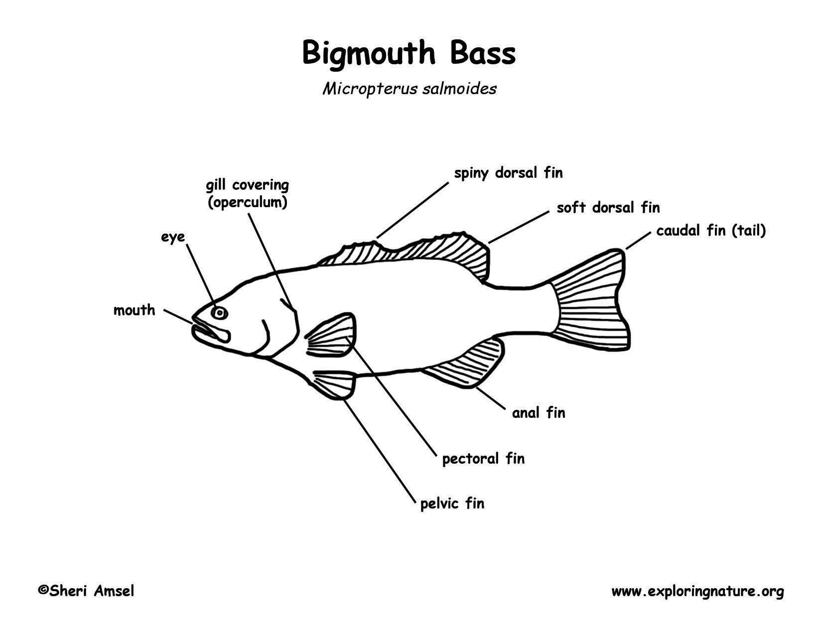 Largemouth Bass Coloring Pages
