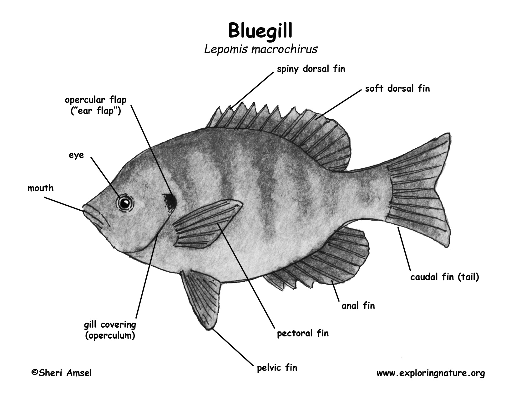 Bluegilldiagrambwg download hi res bw diagram pooptronica
