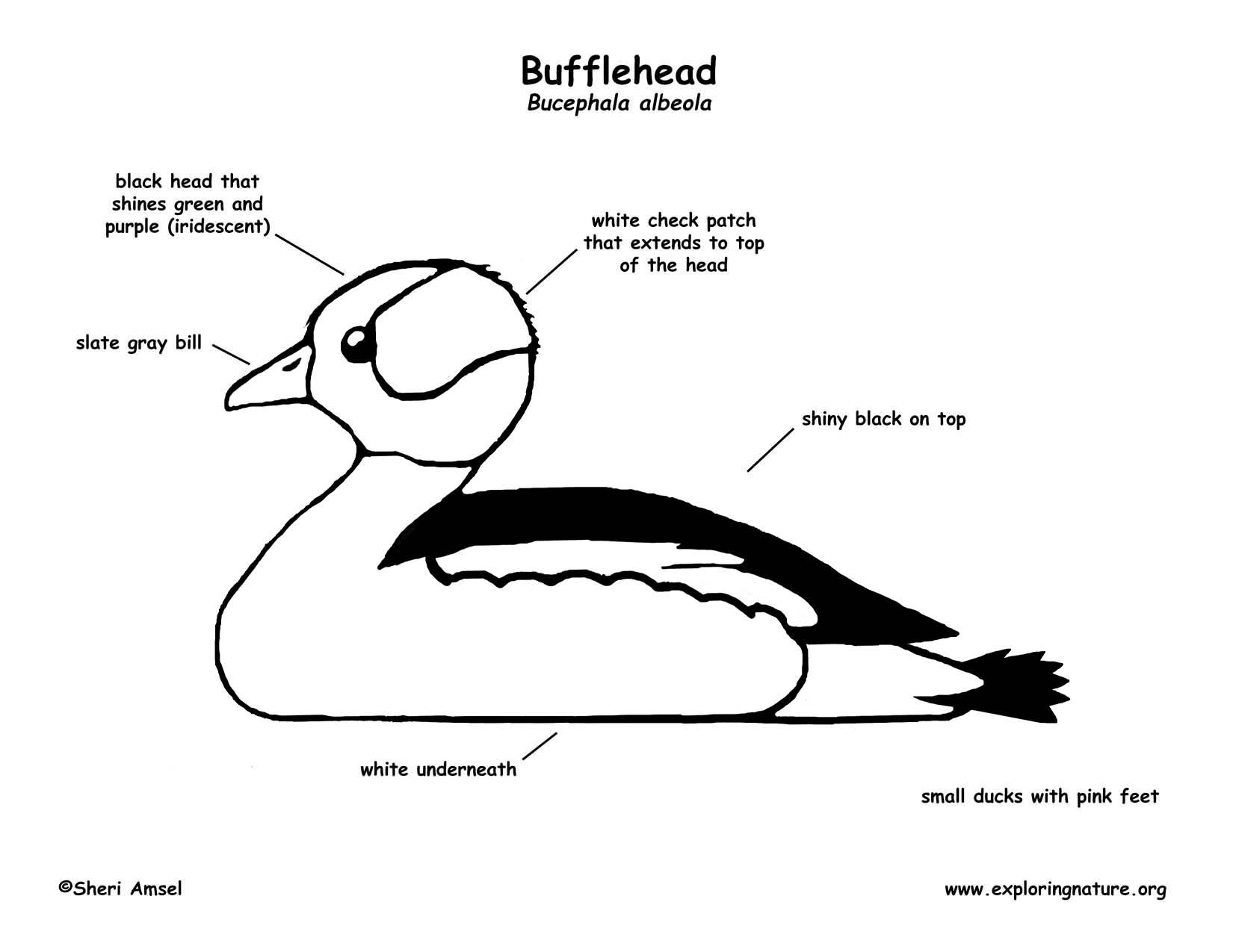 duck bufflehead