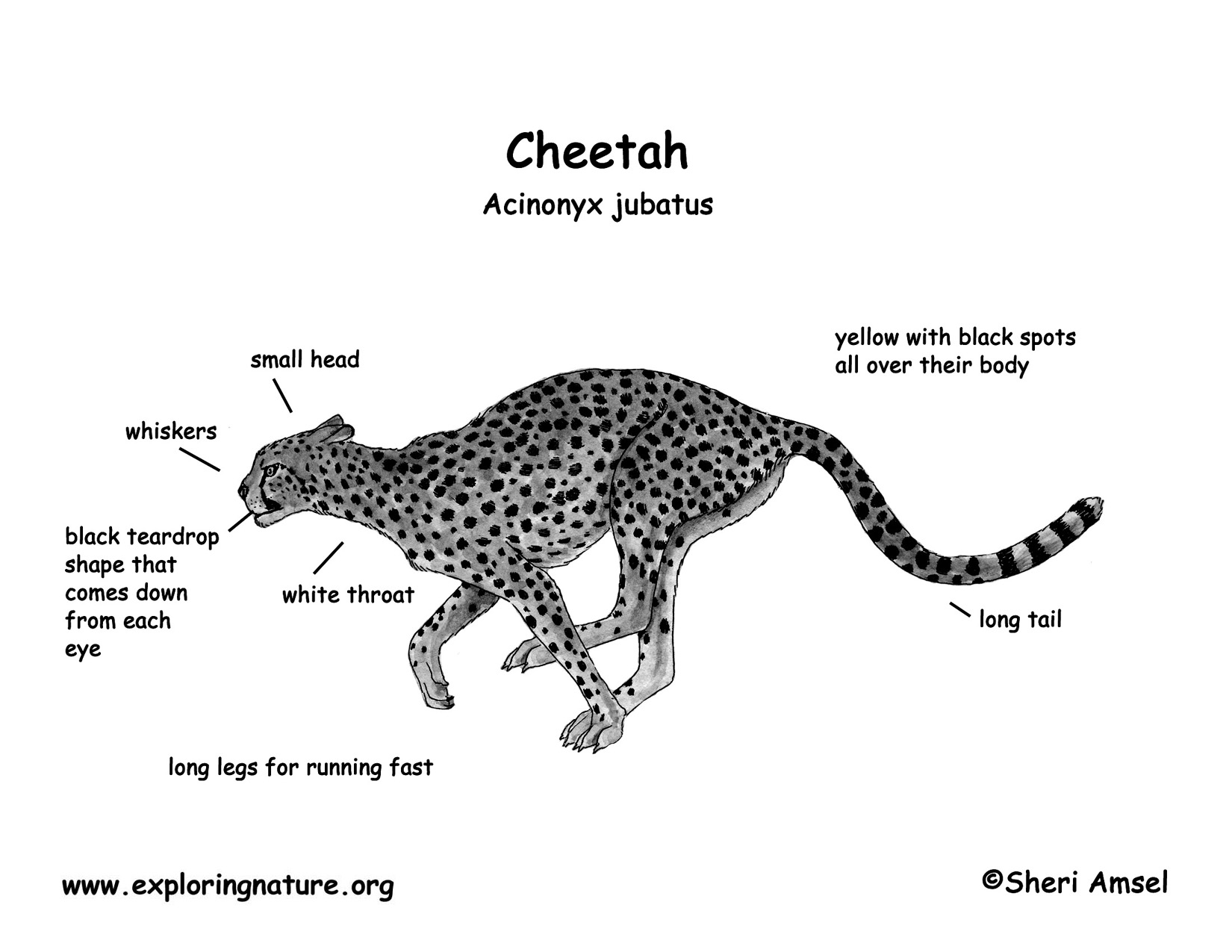 Simple Eye Diagram Of Cheetah Books Wiring Rh Exploringnature Org A