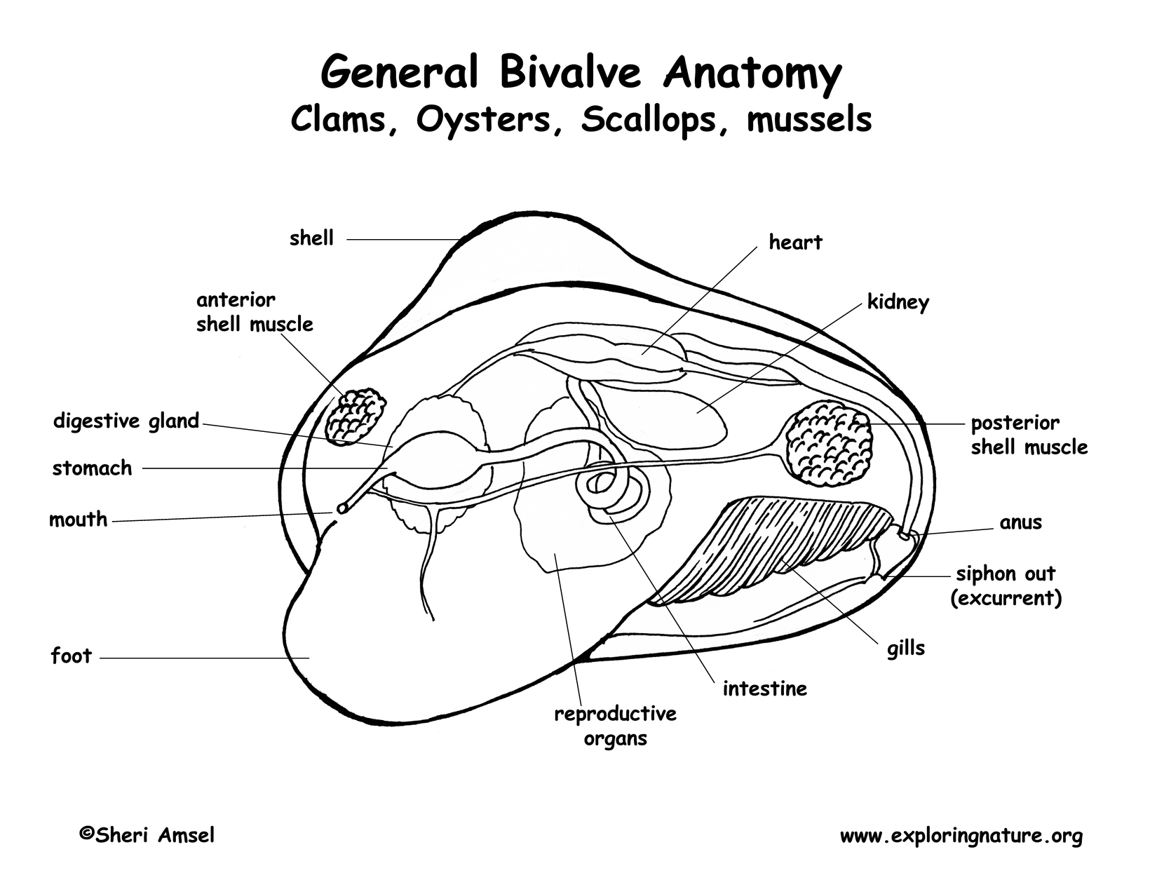 Labeled Diagram Of A Clam | Diagram