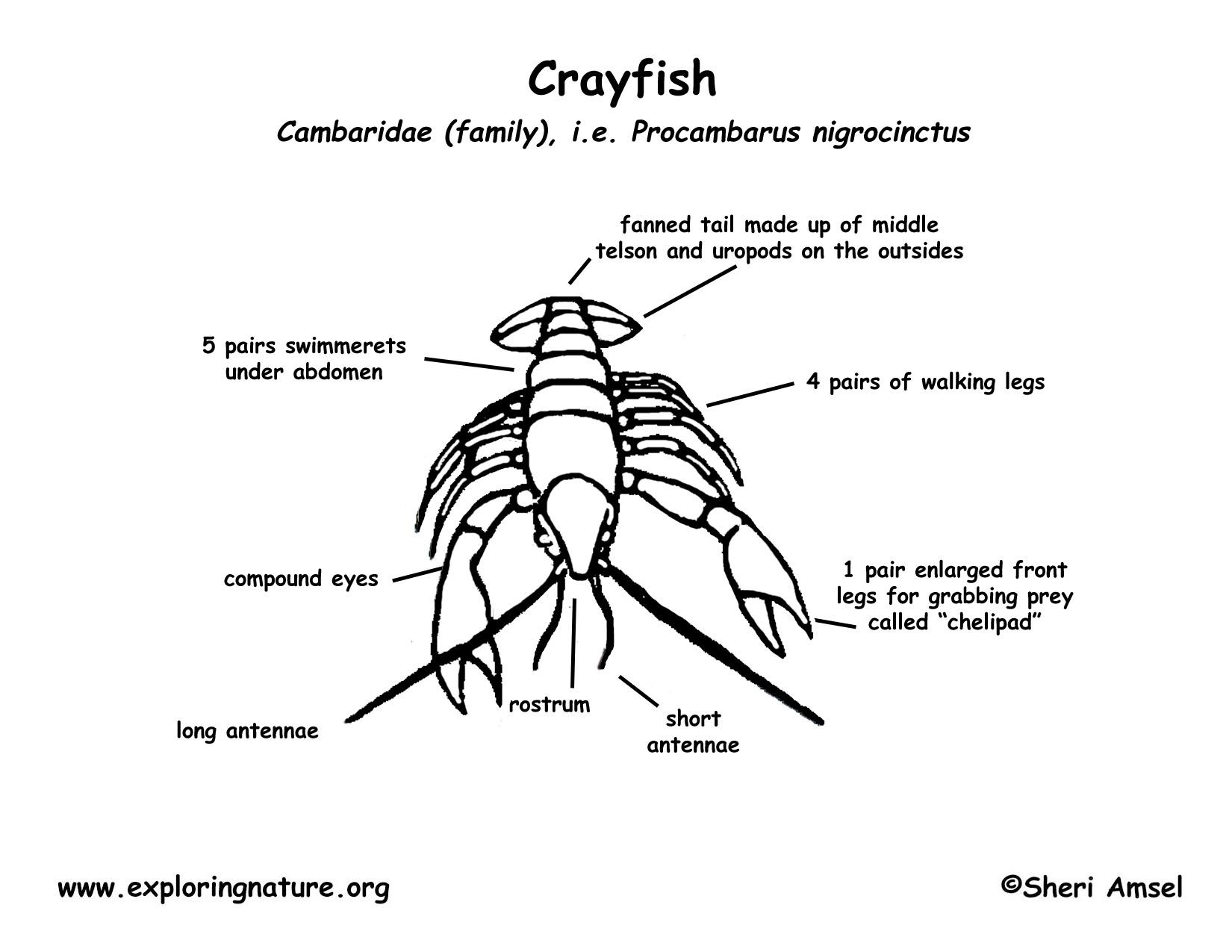 crayfish : diagram of crayfish - findchart.co