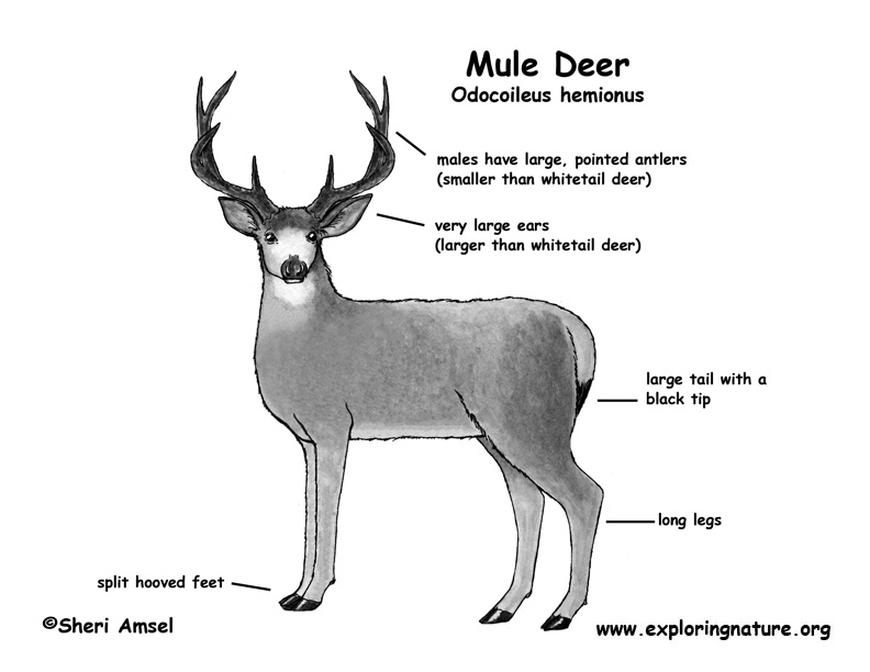 Deer Tail Diagram - Residential Electrical Symbols •