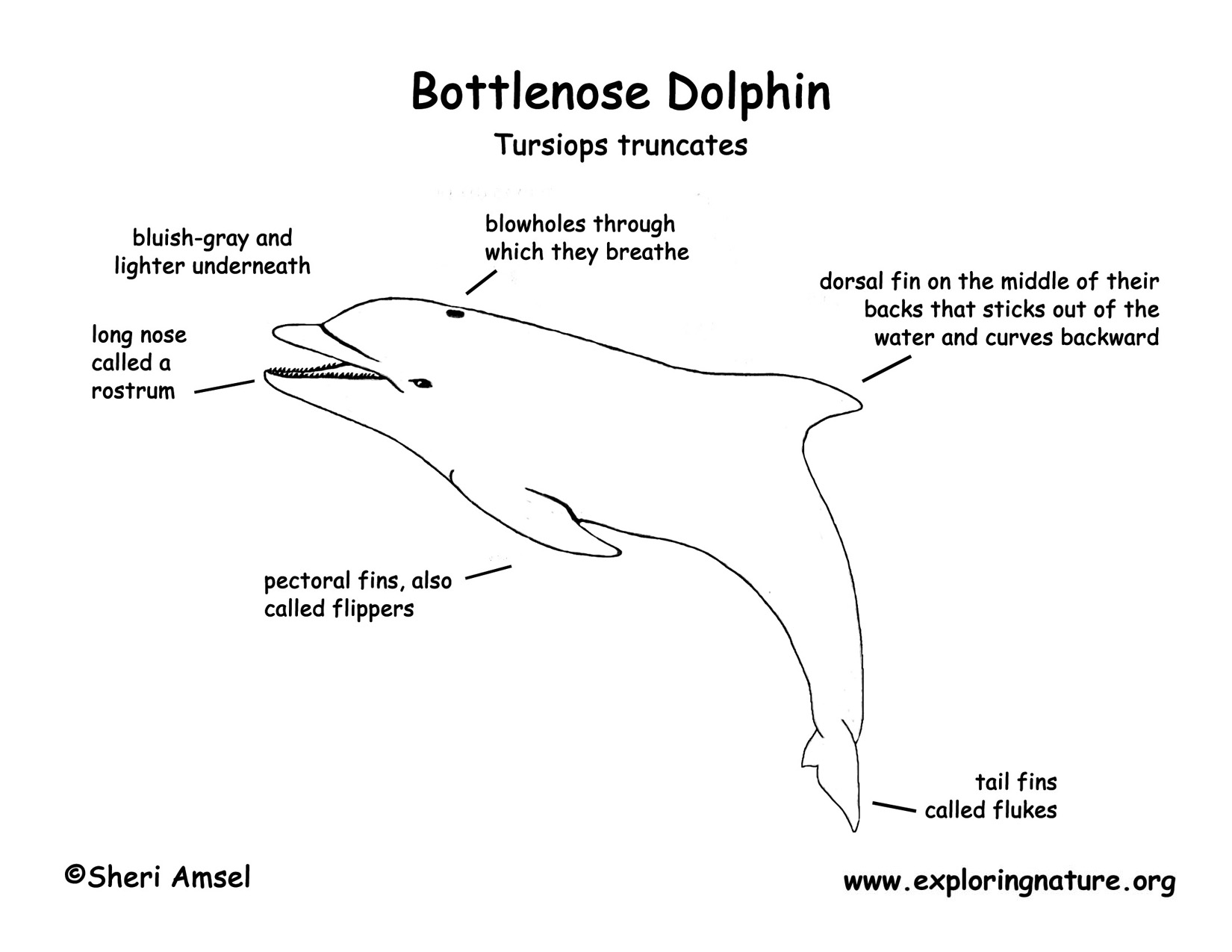dolphin quad gauges wiring diagram bottlenose dolphin diagram #2