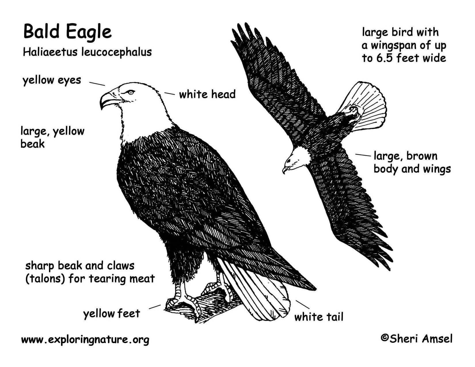 Body Parts Diagram Of An Eagle - Wiring Library •