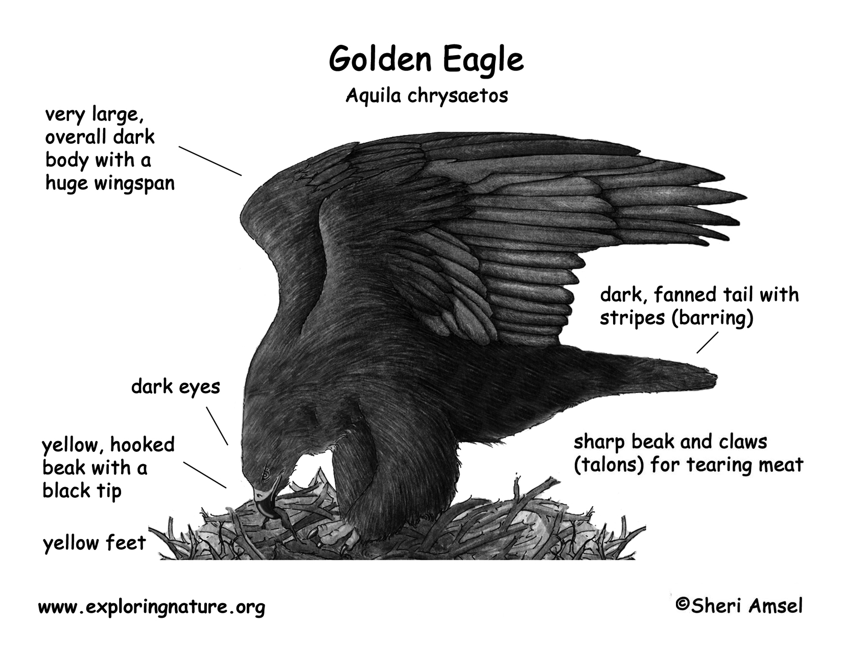 Eagle (Golden)