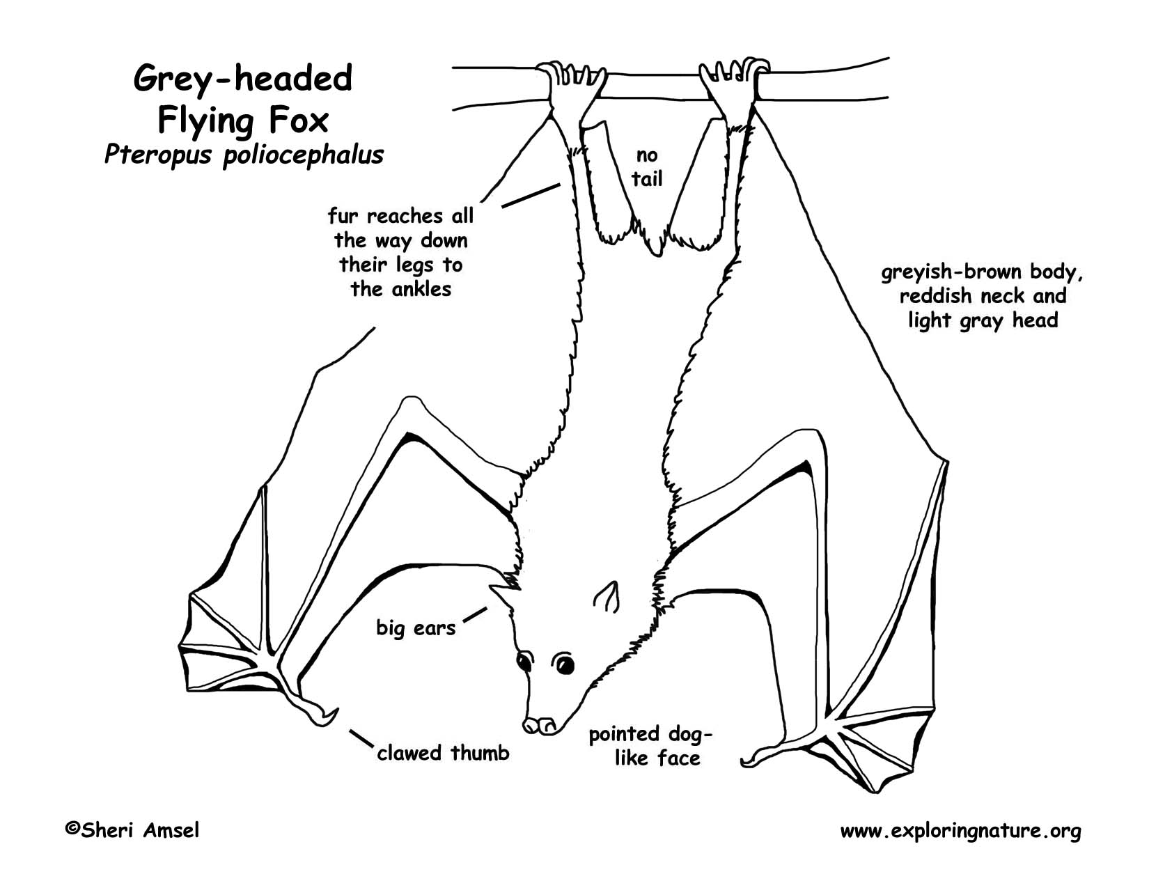 flying fox (grey headed), megabat First Grade Bat Diagram