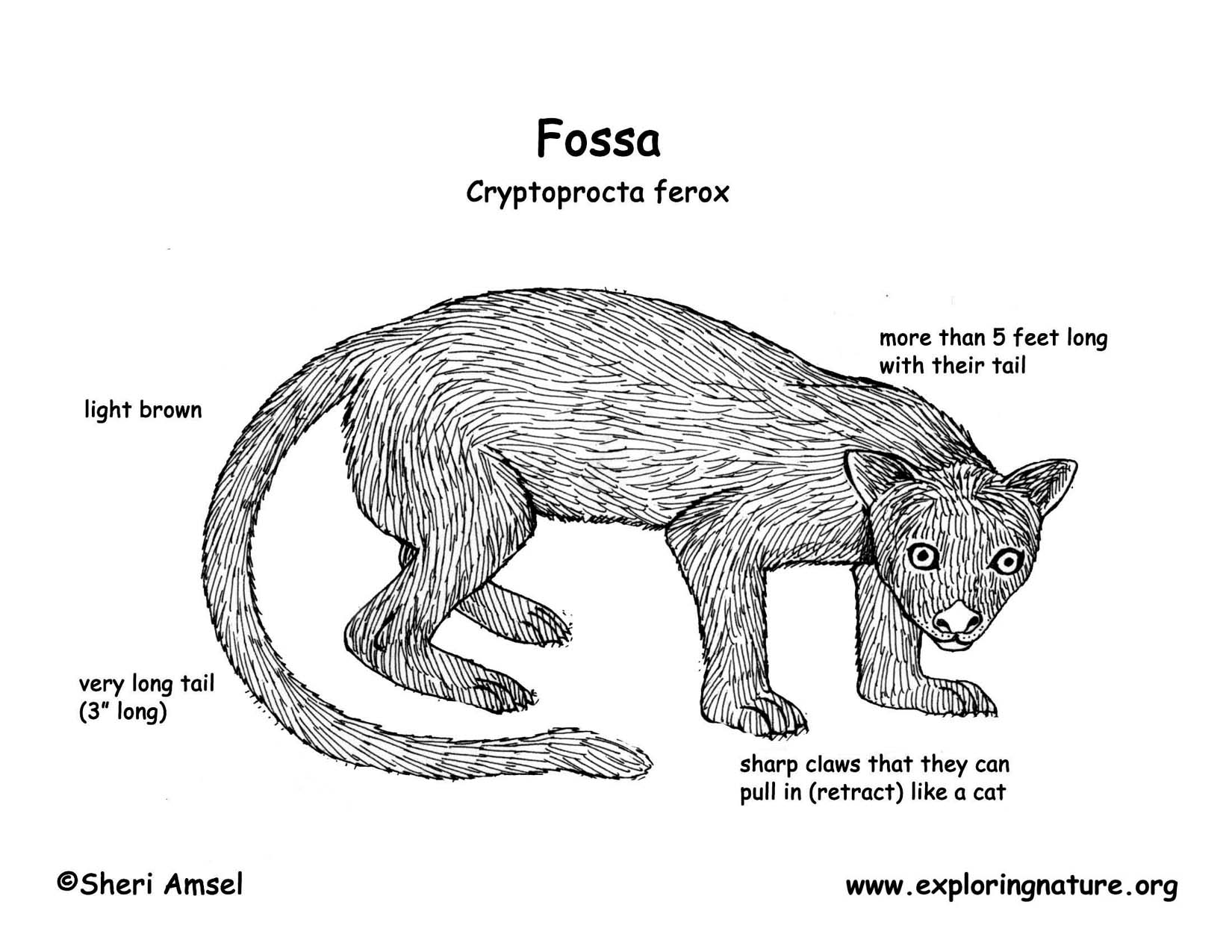 Diagrams of a fossa all kind of wiring diagrams diagram of the fossa auto wiring diagram today u2022 rh init org uk diagram fasa biner ccuart Choice Image