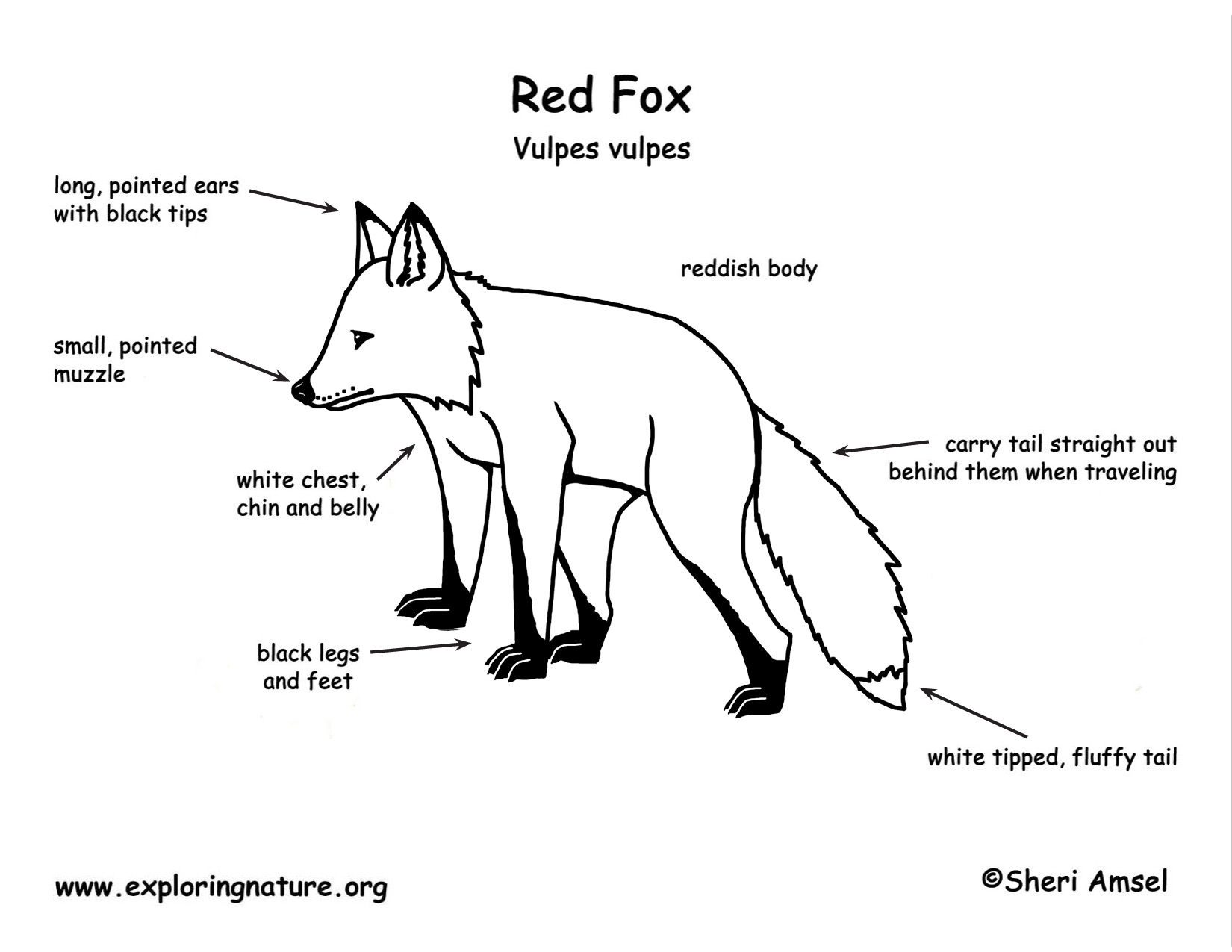 1000  images about fox model on pinterest