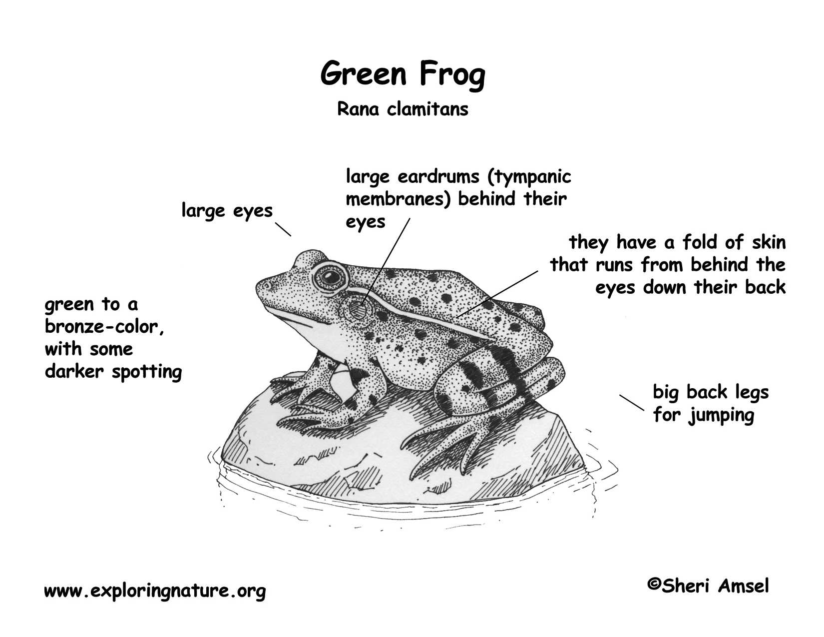 Frog Mouth Parts Frog Mouth Diagram