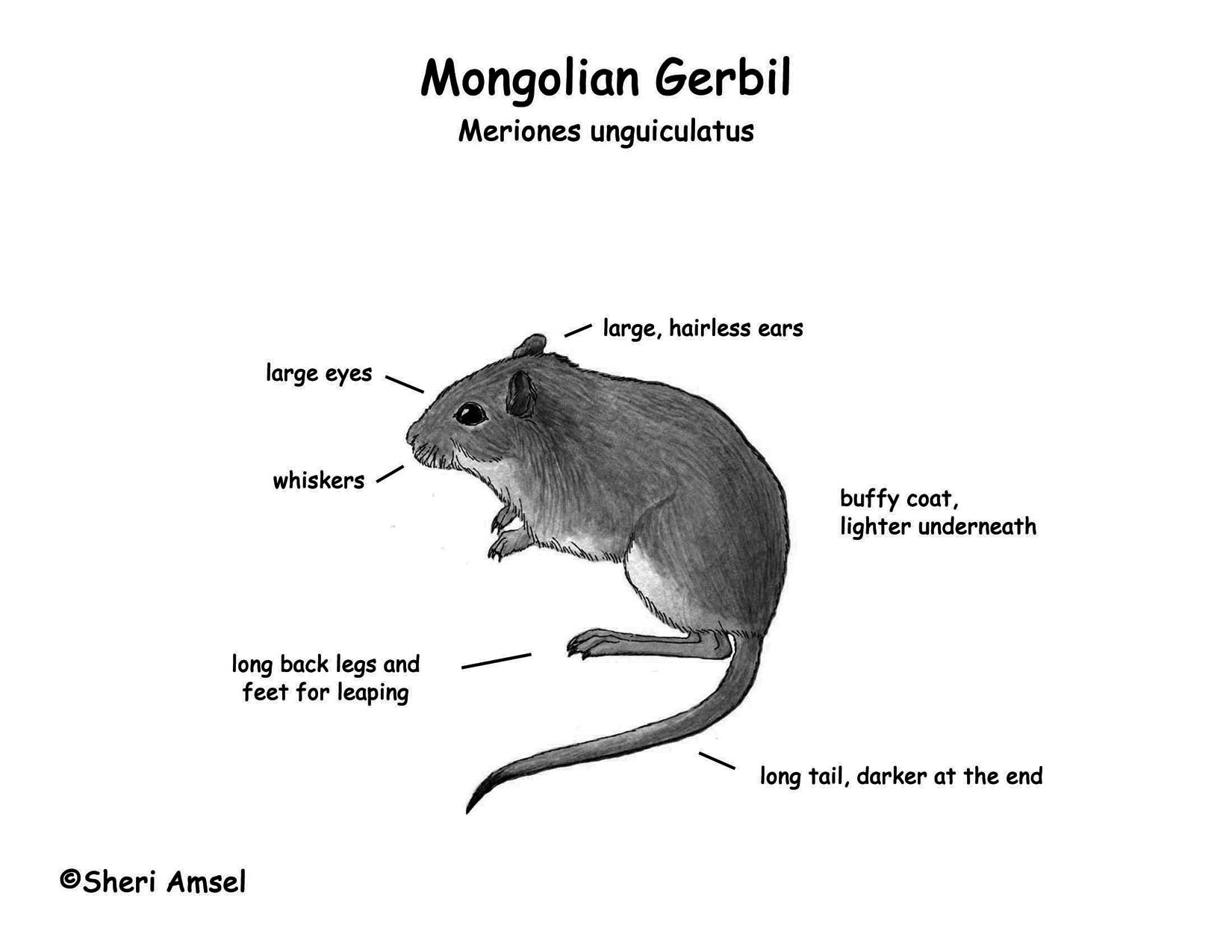 the word gerbil coloring pages | Gerbil (Mongolian)