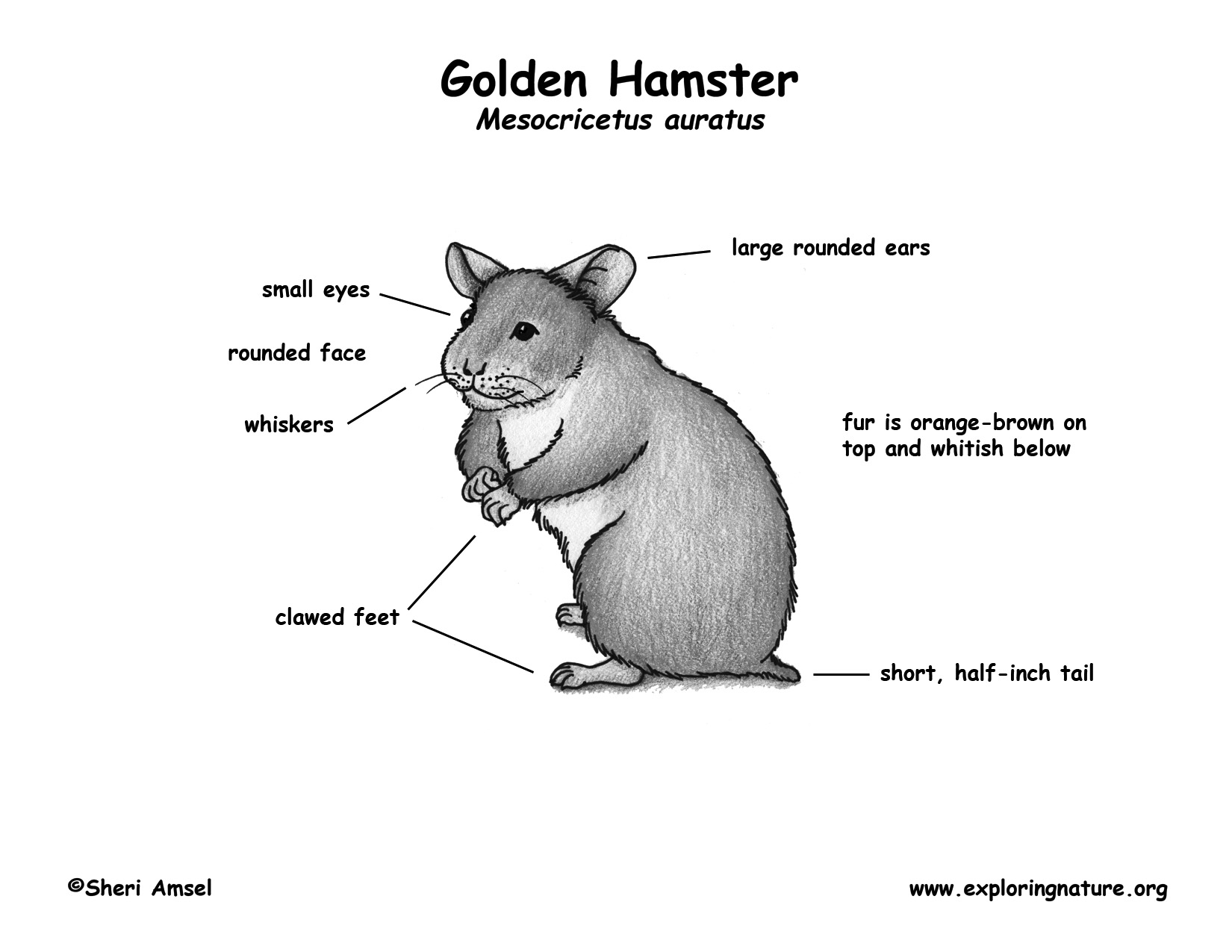 Hamsters By Melissa Aguilar