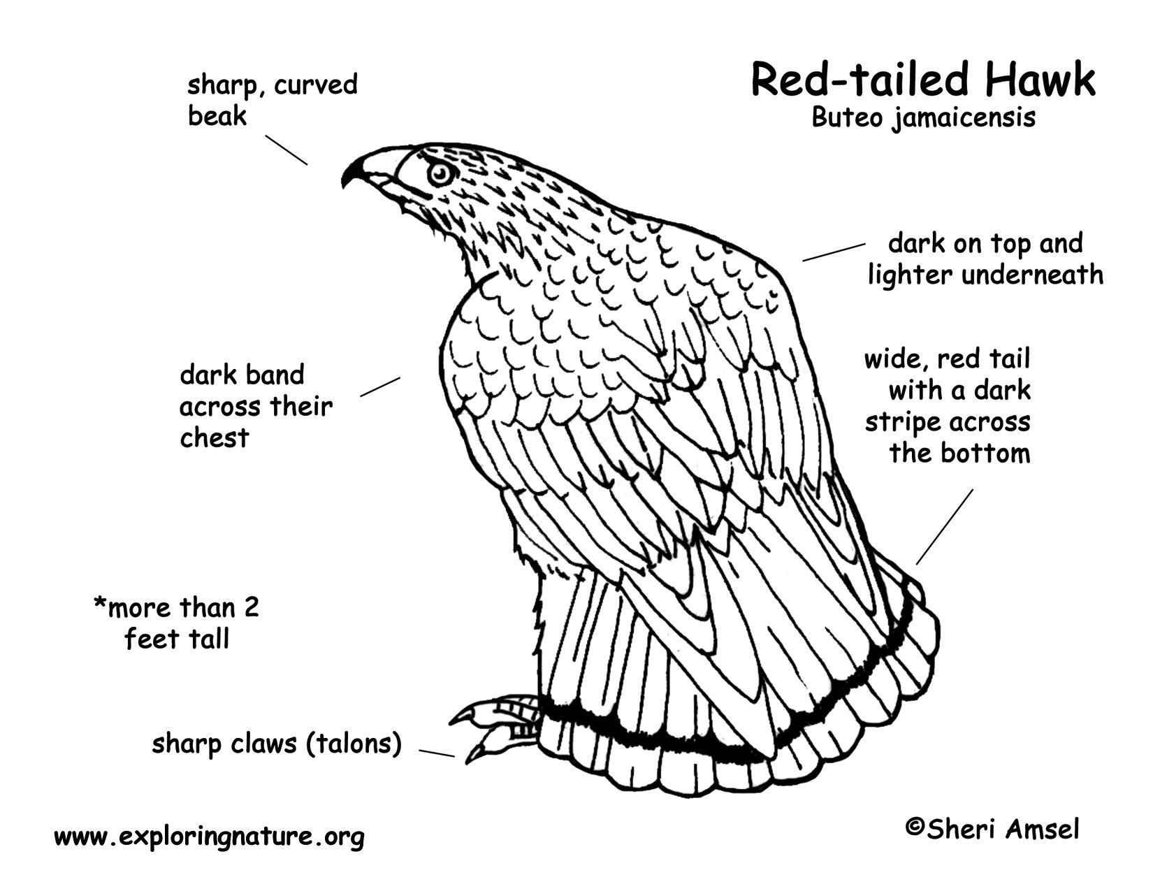 hawk  red