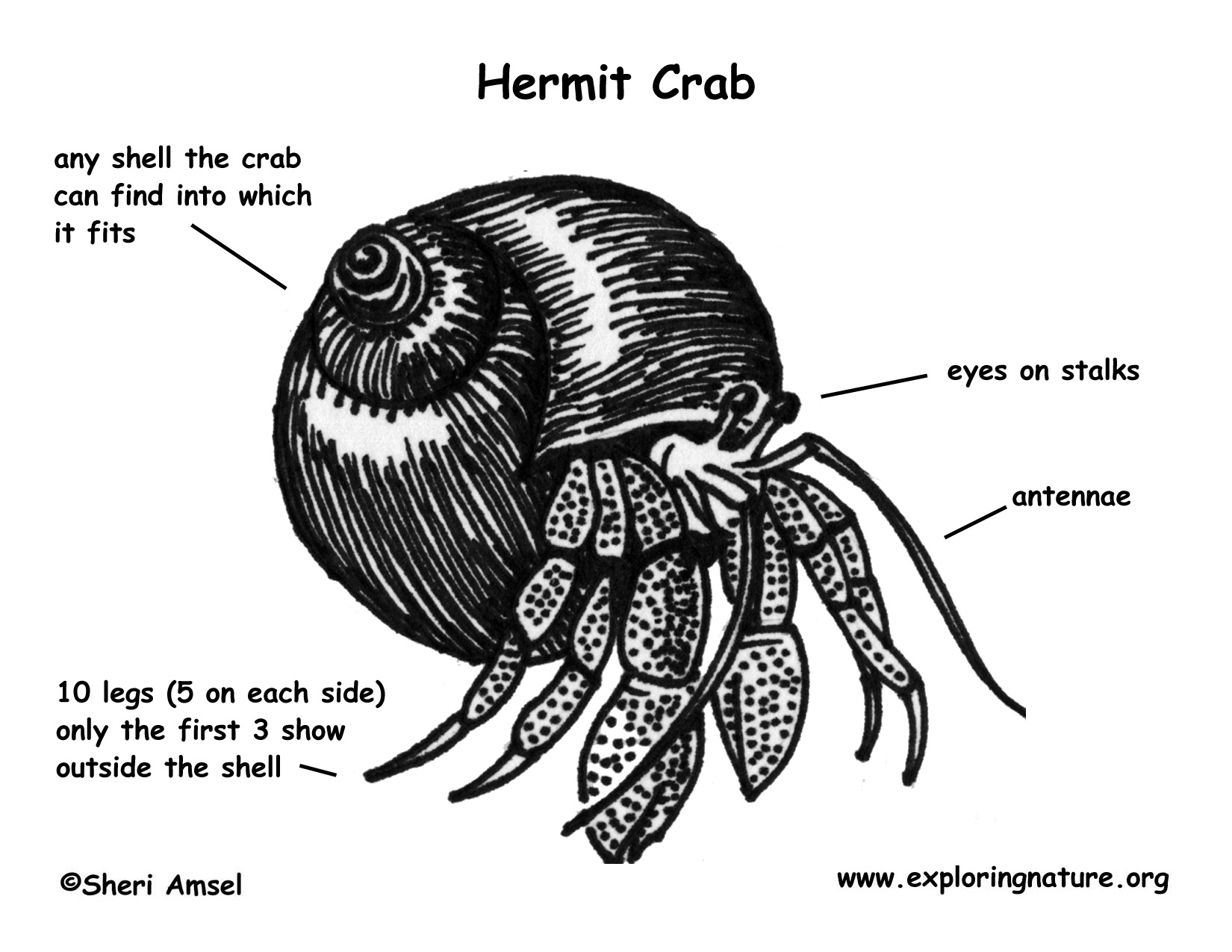 Hermit Crab (Black-eyed)