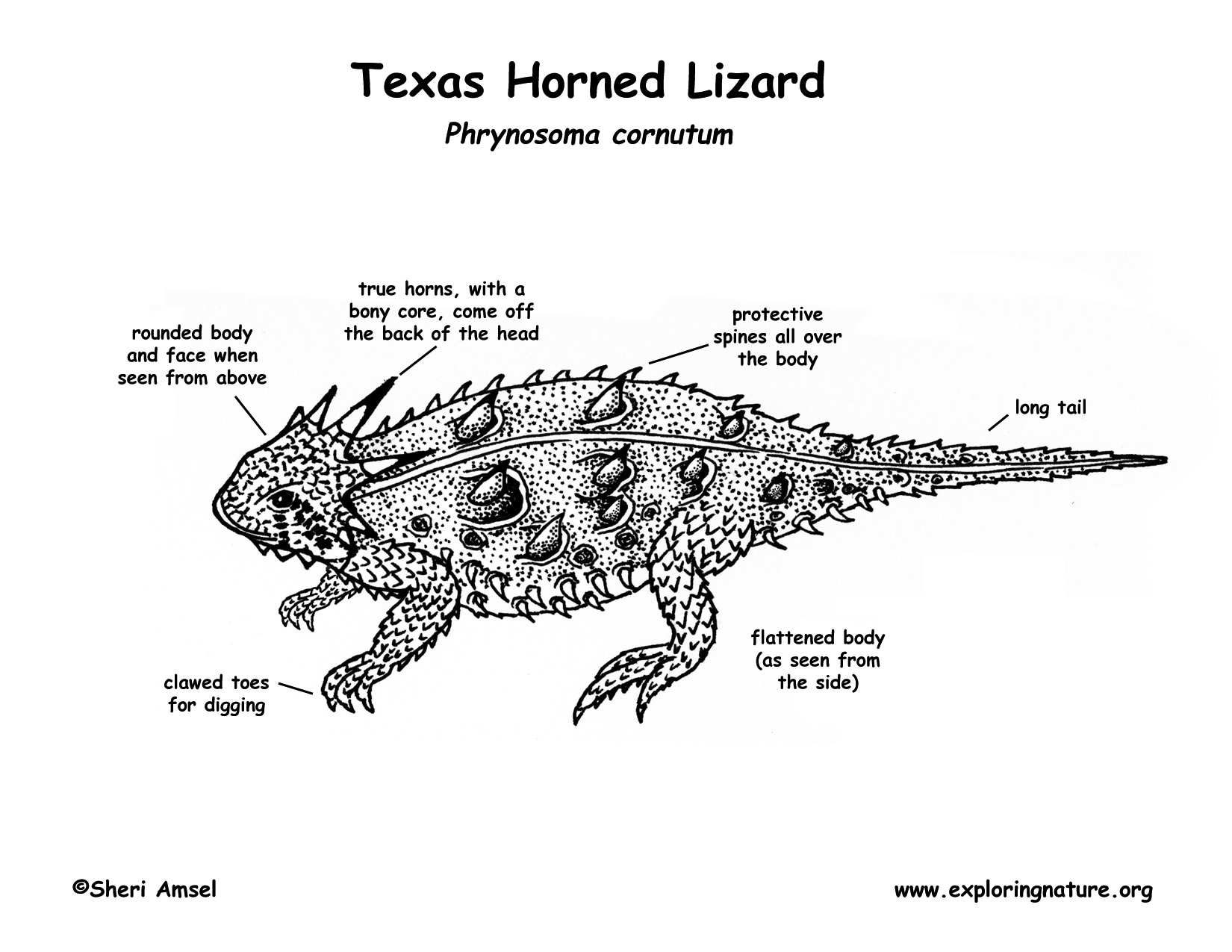 lizard  texas horned