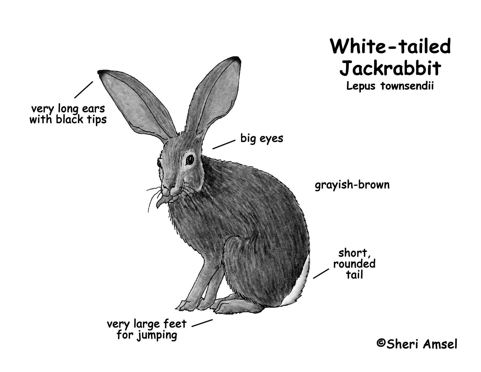 jackrabbit  white